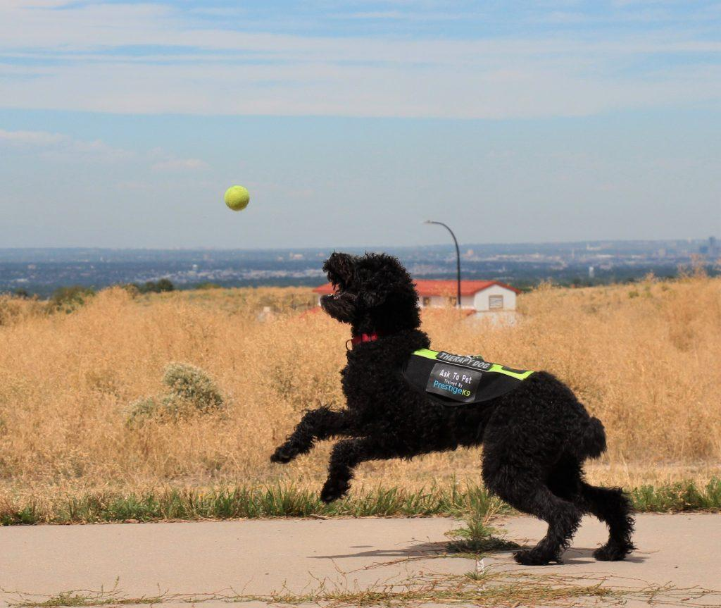 Meet the Mountain Vista Therapy Dogs